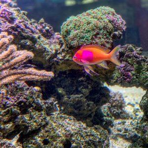 pink and orange tropical fish