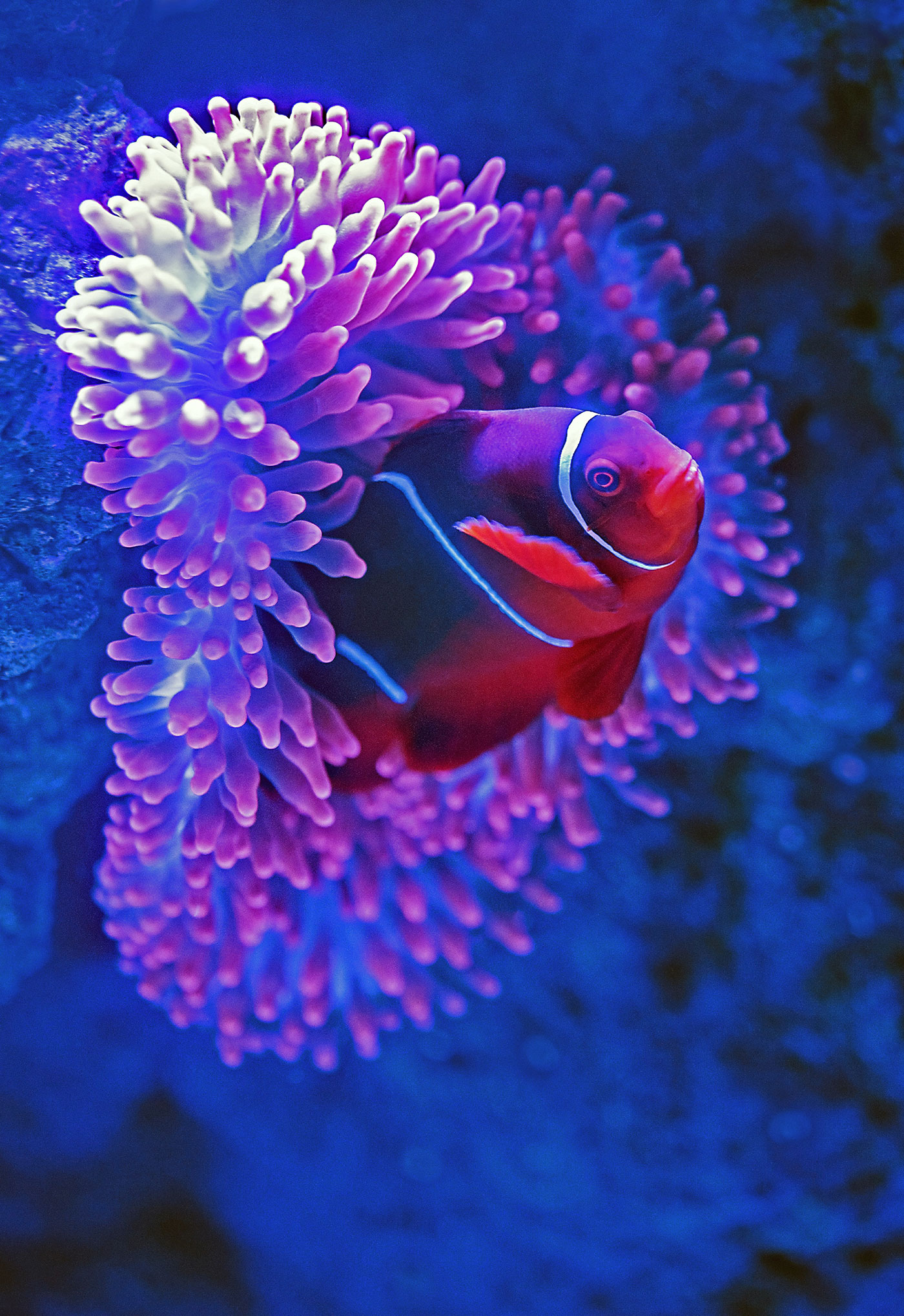 clownfish poking his head out of a sea anemone